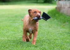 Rhodesian Ridgeback puppy with broom Royalty Free Stock Photography