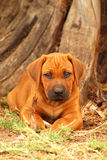 Rhodesian Ridgeback puppy dog portrait Stock Image