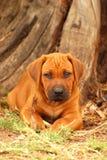 Rhodesian Ridgeback puppy dog portrait Stock Image