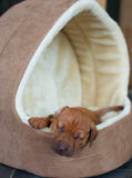 Rhodesian Ridgeback puppy in dog house Stock Image