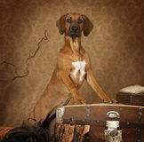 Rhodesian Ridgeback puppy dog Royalty Free Stock Image