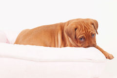 Rhodesian Ridgeback puppy in dogbed. An african Rhodesian Ridgeback puppy is lying in a small pink dogbed. The puppy is looking straight into the camera while royalty free stock images