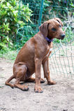 Rhodesian Ridgeback puppy by fence. Young Rhodesian Ridgeback puppy sitting next to fence in yard on sunny day Stock Photo