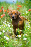 Rhodesian ridgeback puppy in a field Royalty Free Stock Photos