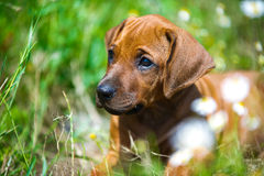 Rhodesian ridgeback puppy in a field Stock Photos