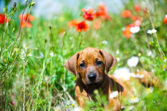 Rhodesian ridgeback puppy in a field Royalty Free Stock Images