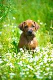 Rhodesian ridgeback puppy in a field Stock Photos