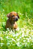 Rhodesian ridgeback puppy in a field Stock Images