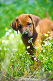 Rhodesian ridgeback puppy in a field Stock Image