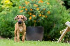 Rhodesian ridgeback puppy. In the garden stock photo