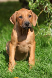 Rhodesian ridgeback puppy in the garden Stock Image