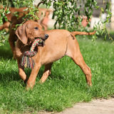 Rhodesian ridgeback puppy in the garden Stock Photo