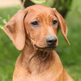 Rhodesian ridgeback puppy in the garden Royalty Free Stock Photography