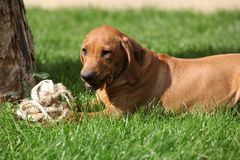 Rhodesian ridgeback puppy in the garden Royalty Free Stock Images