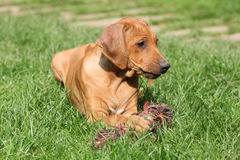 Rhodesian ridgeback puppy in the garden Royalty Free Stock Photos