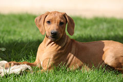 Rhodesian ridgeback puppy in the garden Royalty Free Stock Photo