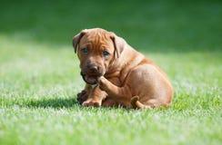 Rhodesian Ridgeback puppy in grass Royalty Free Stock Photography