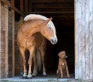 Rhodesian ridgeback puppy with a horse. Pretty rhodesian ridgeback puppy with a redf harness horse posing in the barn on black background stock images