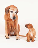 Rhodesian Ridgeback puppy with its grandma Royalty Free Stock Photo