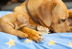 Rhodesian Ridgeback puppy with its mom Stock Photo
