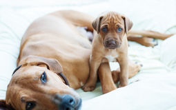 Rhodesian Ridgeback puppy with its mom. An african Rhodesian Ridgeback puppy is sitting beside its mother. The little puppy is looking straight into the camera royalty free stock photos