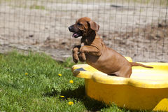 Rhodesian Ridgeback Puppy jumping royalty free stock images