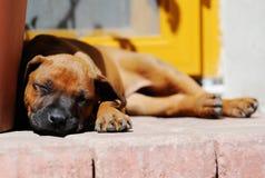 Rhodesian Ridgeback puppy lazy sleeping stock photo