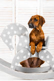 Rhodesian Ridgeback puppy leaning on a rocking horse in children Royalty Free Stock Image