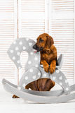 Rhodesian Ridgeback puppy leaning on a rocking horse in children Stock Photography