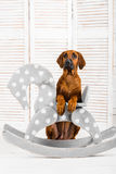 Rhodesian Ridgeback puppy leaning on a rocking horse in children Stock Images