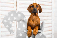 Rhodesian Ridgeback puppy leaning on a rocking horse in children Royalty Free Stock Photography