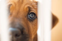 Rhodesian Ridgeback puppy looking sad Royalty Free Stock Image