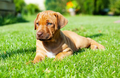 Rhodesian Ridgeback puppy lying in grass Royalty Free Stock Image