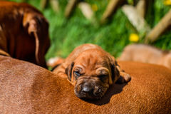 Rhodesian Ridgeback puppy lying on its mother. Adorable  3-week-old Rhodesian Ridgeback puppy lying on the back of its mother on the green grass in the sun Royalty Free Stock Photo