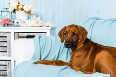 Rhodesian Ridgeback puppy in a marine style interior. Rhodesian Ridgeback puppy lying on a sofa in a marine style interior Stock Photo