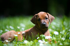 Rhodesian ridgeback puppy outdoors Stock Photos