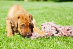 Rhodesian Ridgeback puppy playing Royalty Free Stock Photos