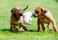 Rhodesian Ridgeback puppy playing with a toy. Two cute african Rhodesian Ridgeback puppies are playing with a toy. The puppies are holding the toy in their mouth royalty free stock photos