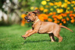 Rhodesian ridgeback puppy playing outdoors Royalty Free Stock Image