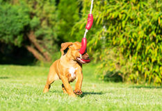 Rhodesian Ridgeback puppy playing with toy Royalty Free Stock Photos