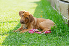 Rhodesian Ridgeback puppy playing with toy Stock Images