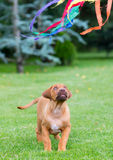 Rhodesian Ridgeback puppy playing with toy Royalty Free Stock Images