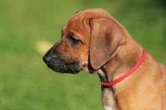 Rhodesian Ridgeback Puppy Portrait Stock Images
