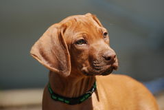 Cute Rhodesian liver puppy portrait Stock Image