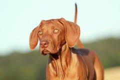 Rhodesian ridgeback puppy portrait Royalty Free Stock Image