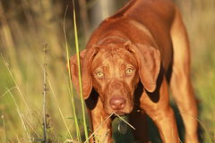 Rhodesian ridgeback puppy portrait. Rhodesian ridgeback liver nosed puppy portrait Royalty Free Stock Photo