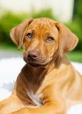 Rhodesian Ridgeback puppy portrait Stock Image