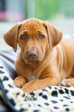 Rhodesian Ridgeback puppy portrait Stock Images