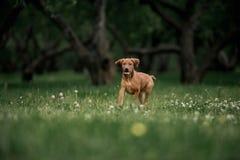 Rhodesian Ridgeback puppy running through green grass in the garden. At the green background royalty free stock photo