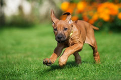 Rhodesian ridgeback puppy running outdoors Stock Images